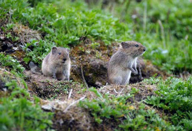 two voles, one standing on its rear legs