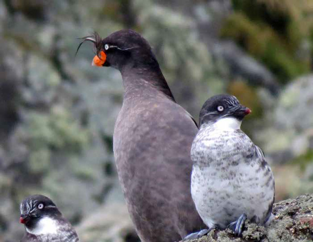 three gray penguin-like birds