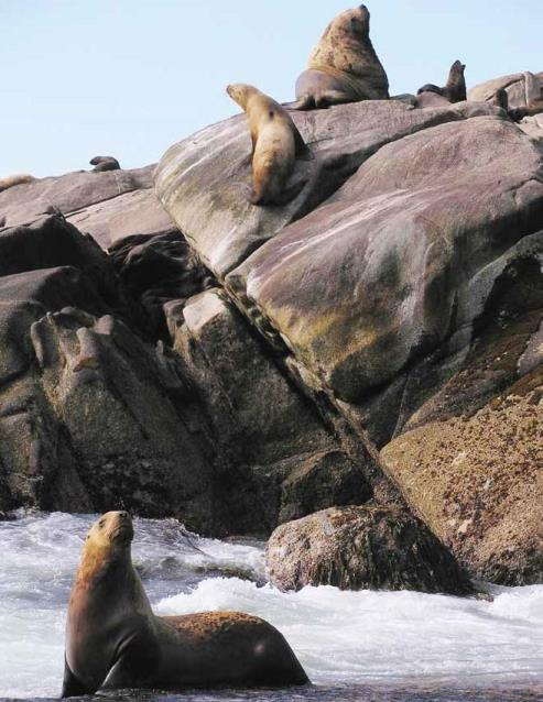 Steller sea lions ashore at a rookery near Glacier Bay.