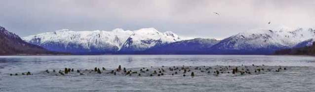 Steller sea lions aggregated in the water.