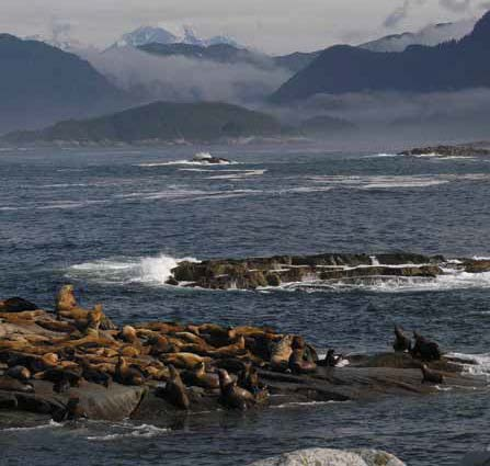 Steller sea lion rookery at Graves Rocks.