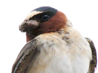 Close-up of a swallow's face, with mud on it's beak for nest-building