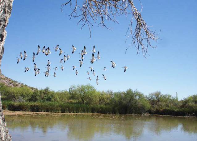 A flock of birds fly over a spring-fed pond