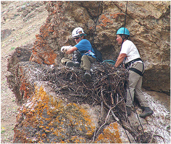 Rock climbers in harnesses and helmets explore a cliff with an eagle nest