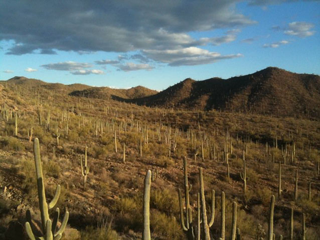A landscape sprinkled with numerous saguaro cacti