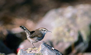 Photo of Bewick's wren perched on a rock.