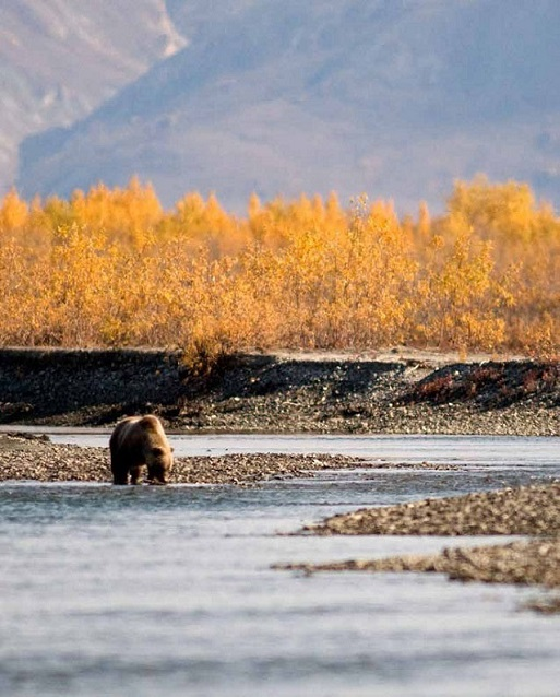 A brown bear in a river