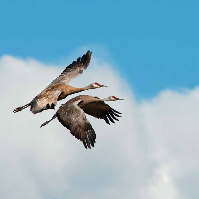 two cranes flying close to one another