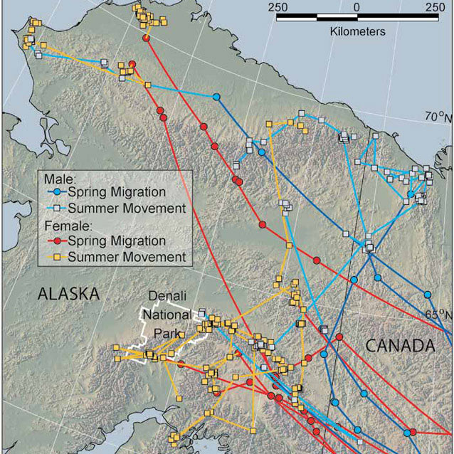 a map of alaska with lines drawn on it indicating flyways for various birds