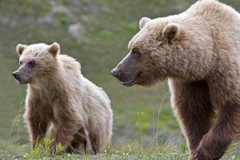 A grizzly bear cub stands next to his mother
