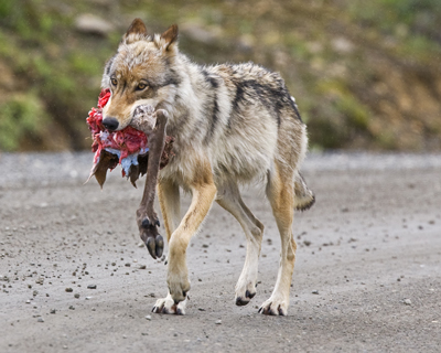 Wolf walks down a dirt road carrying a caribou leg