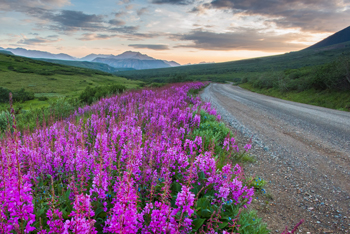 fireweed grows along a dirt road