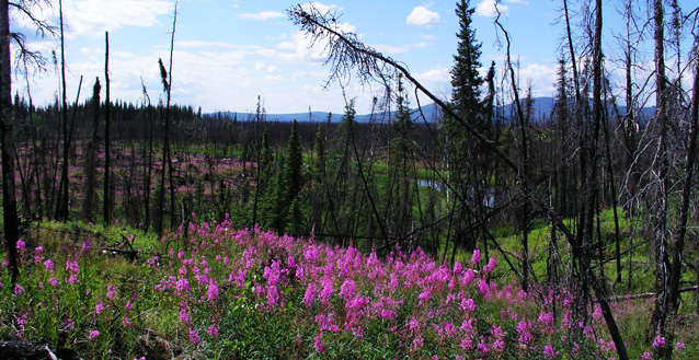 bright pink flowers not a hillside in between the remnants of charred spruce trees