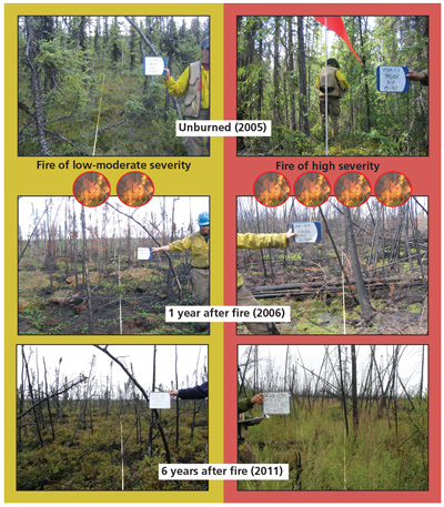 chart shows shrubs grow back after low severity fires and horsetail grows after high severity fires