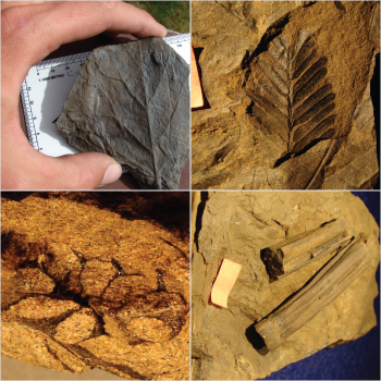 four different plant fossils (angiosperm leaves, gymnosperm leaves, cones, and stems)