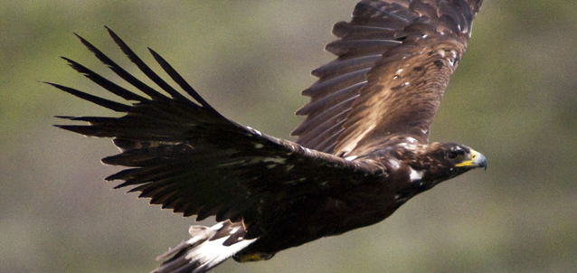 a golden eagle soars with its wings spread wide