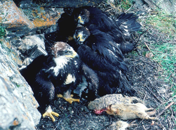 three young golden eagles hide under a rocky outcrop with arctic ground squirrel remains