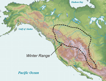 map that shows golden eagles migrate to the western US in the winter