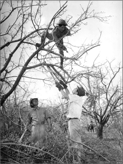 Three men with tools, one high in the branches, prune leafless trees in an orchard.