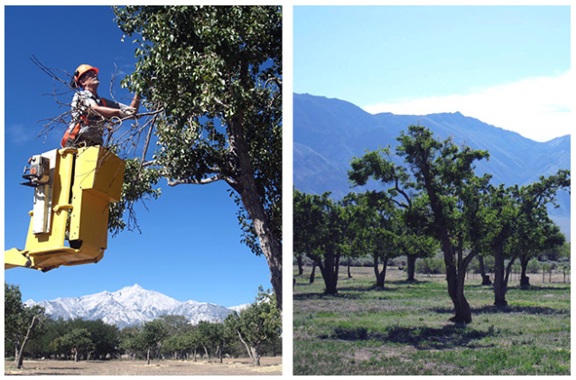 An arborist in a yellow high lift (left photo), and a leafy orchard in front of mountains (right).