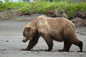Brown bear walking with long claws, shoulder hump, dish-shaped profile, & low rump visible.