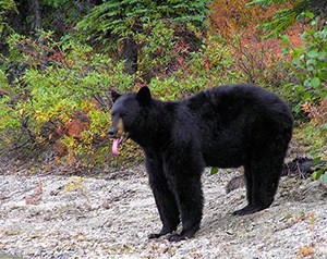 American black bear, black in color, with tall ears, lack of shoulder hump, and high rump visible