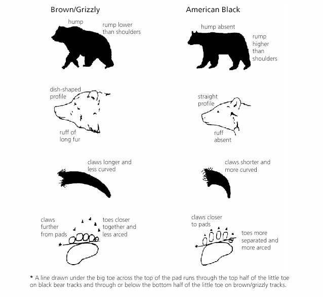 Bear Identification - Alaska Bear Identification Bear Species Chart