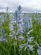 Close up of a camas in the meadow.