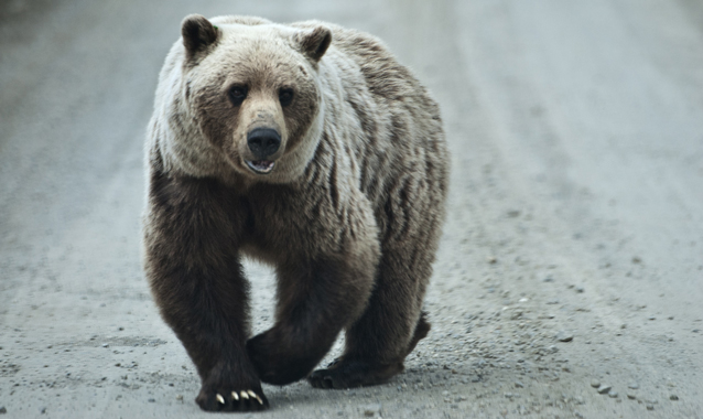 a grizzly bear walks in the middle of a dirt road