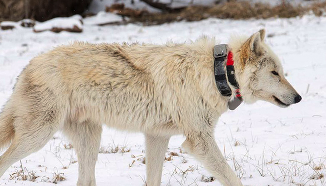 a white wolf wearing a collar walks through the snow