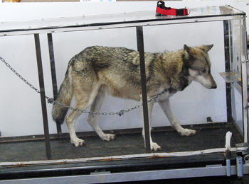 a wolf on stands on a treadmill in a plexiglas box