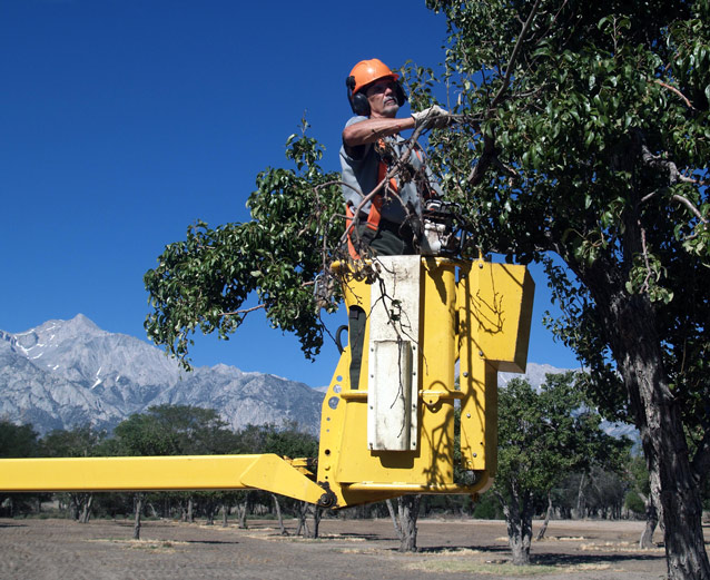 Dressed in safety gear, Gerry reaches upper tree branches from inside a yellow bucket lift.