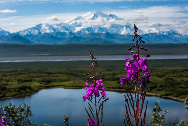 two pink flowers stand in front of a small lake and Denali
