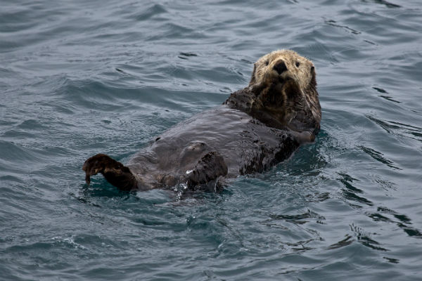 sea otter in the water