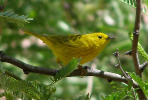 A yellow warbler perches in a mesquite tree.