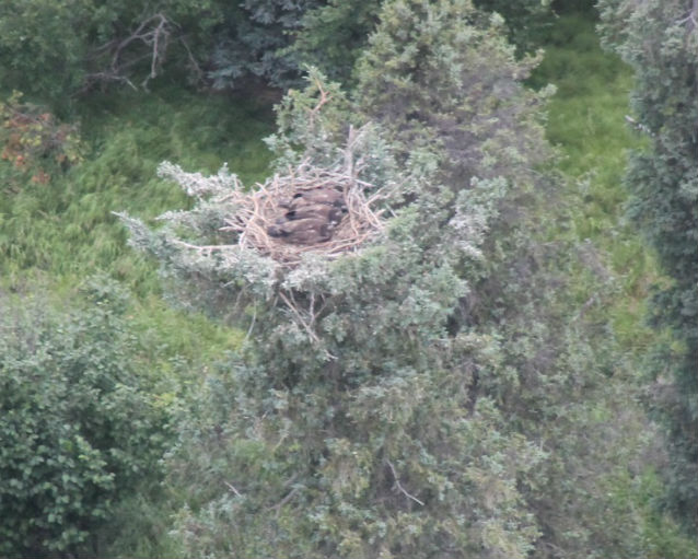 bald eagle chicks in nest