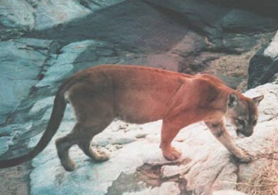 A mountain lion walks in front of the camera