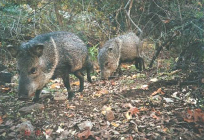 Two javalina, noses to the ground