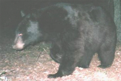 A black bear passes in front of the camera