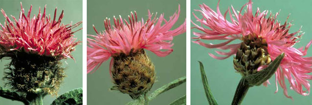 Flower heads of black knapweed (left), meadow knapweed (middle), and brown knapweed (right).