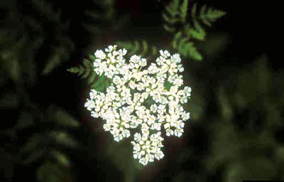 Cluster of white poison hemlock flowers, viewed from the top