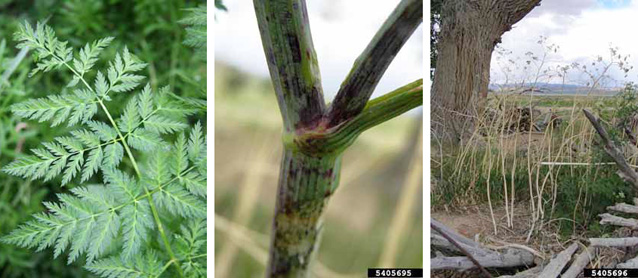 Poison hemlock leaves (left), blotchy stem (middle), and plants after flowering (right).
