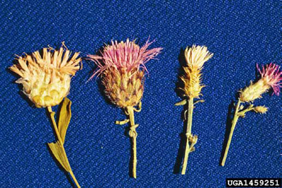 Four flowers, side-by-side, from four different species of knapweed