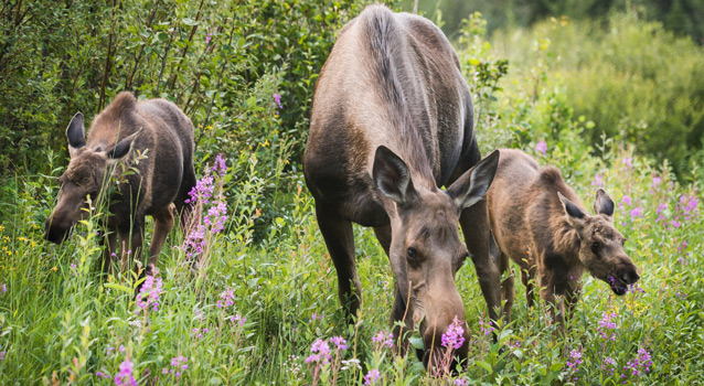 a mother moose and her two calves graze on flowers