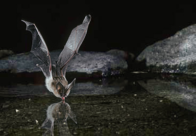 Townsend's big-eared bat gets a drink of water