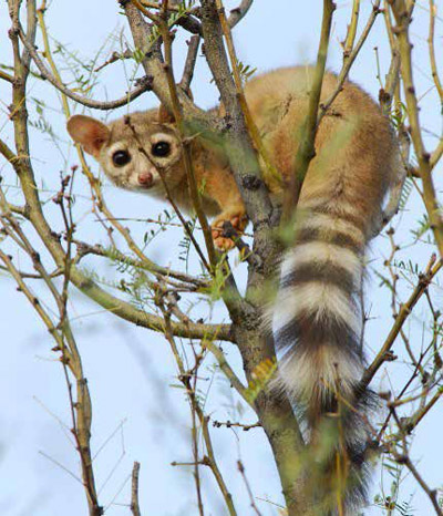 Ring-tailed cat in a tree