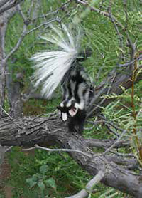 Spotted skunk on a large tree branch