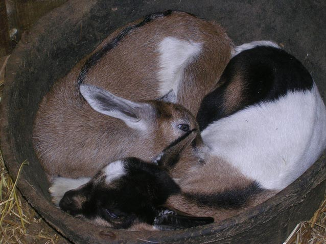 two baby goats curled up in a tub