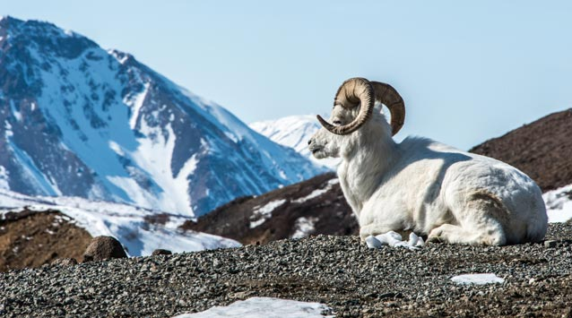 a dall sheep ram lays in front of a snowy mountain