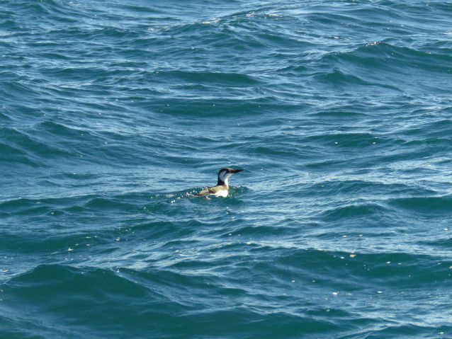 live common murre on water